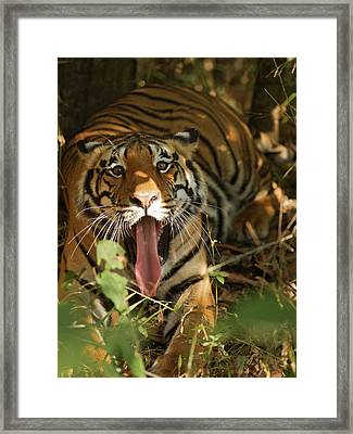 Asia, India, Bandhavgarh National Park Framed Print