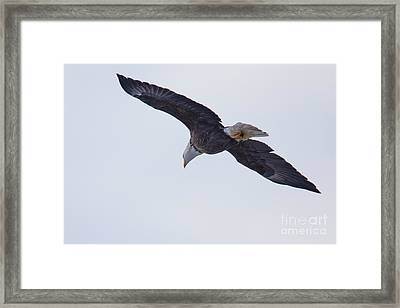 Bald Eagle In Le Claire Iowa Framed Print by Twenty Two North Photography