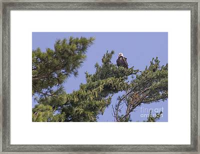 Bald Eagle Framed Print by Twenty Two North Photography