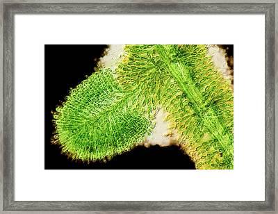 Batrachospermum Alga Filament Framed Print by Gerd Guenther