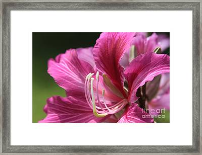 Bauhinia Blakeana - Hong Kong Orchid - Hawaiian Orchid Tree  Framed Print by Sharon Mau