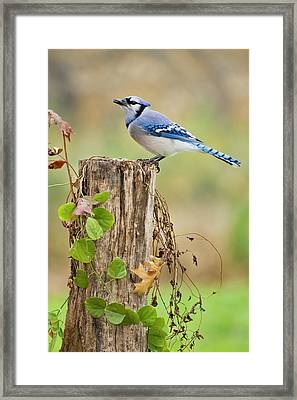Blue Jay (cyanocitta Cristata Framed Print by Larry Ditto