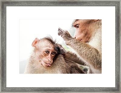 Bonnet Macaques Framed Print