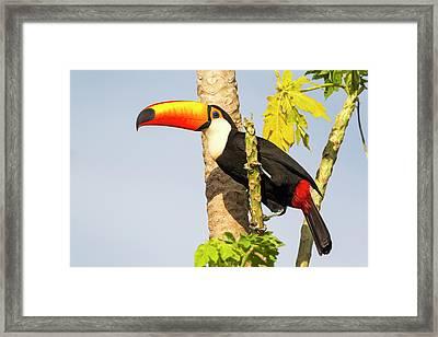 Brazil, Mato Grosso, The Pantanal, Toco Framed Print