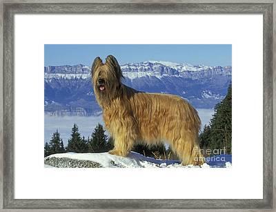 Briard Dog Framed Print by Jean-Michel Labat