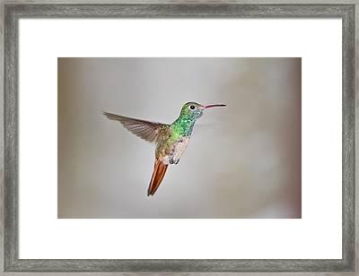 Buff-bellied Hummingbird (amazilia Framed Print