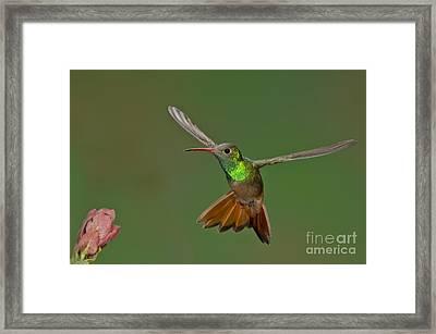 Buff-bellied Hummingbird Framed Print by Anthony Mercieca