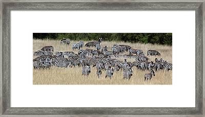 Burchells Zebra Equus Quagga Burchellii Framed Print by Panoramic Images
