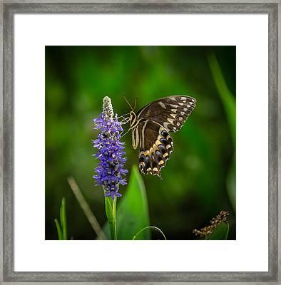 Butterfly Framed Print by Bill Martin