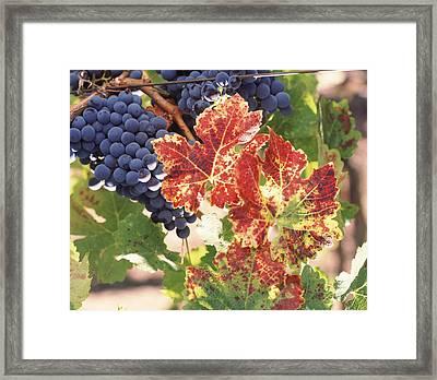 Cabernet Sauvignon Grapes In Vineyard Framed Print