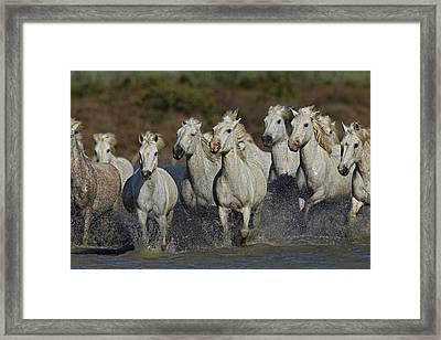 Camargue Horses Running Through Marshy Framed Print by Adam Jones