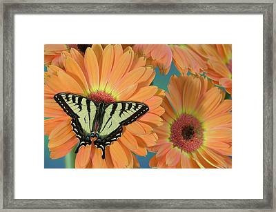 Canadian Tiger Swallowtail Butterfly Framed Print