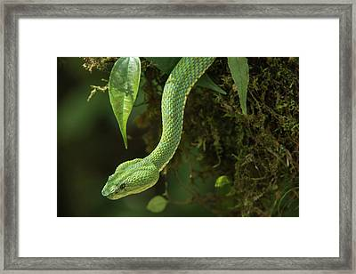 Captive Eyelash Viper (bothriechis Framed Print by Pete Oxford