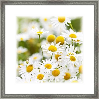 Chamomile Flowers Framed Print