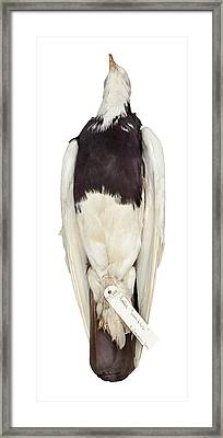 Charles Darwin's Pigeons Framed Print by Natural History Museum, London