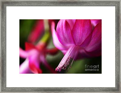 Christmas Cactus In Bloom Framed Print
