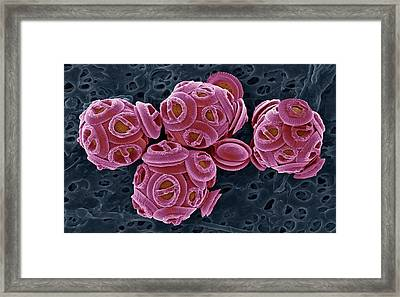 Coccolithophores Framed Print by Steve Gschmeissner