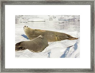 Crabeater Seal Framed Print by Ashley Cooper