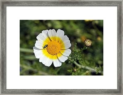 Framed Print featuring the photograph Crown Daisy Flower by George Atsametakis