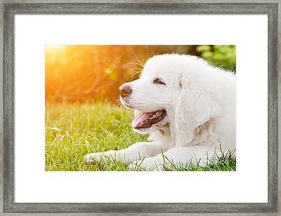 Cute White Puppy Dog Lying On Grass Framed Print