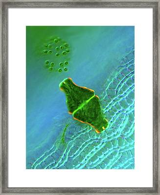 Desmid And Dictyosphaerium Green Algae Framed Print