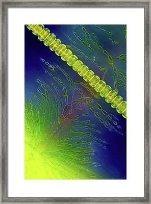 Desmids And Red Algae Framed Print by Marek Mis