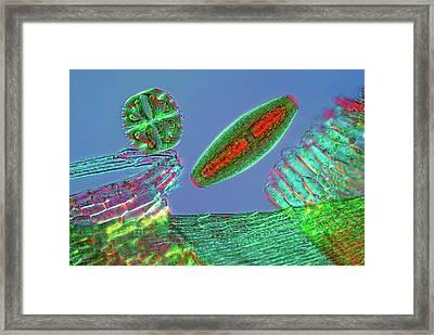 Desmids Framed Print by Marek Mis