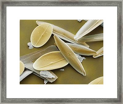 Diatoms, Sem Framed Print by Power And Syred