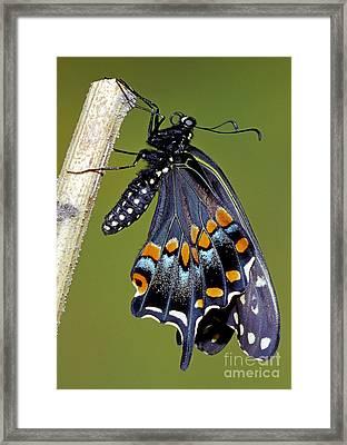 Eastern Black Swallowtail Metamorphosis Framed Print by Millard H. Sharp