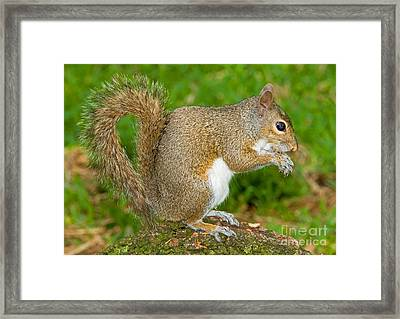 Eastern Gray Squirrel Framed Print by Millard H. Sharp