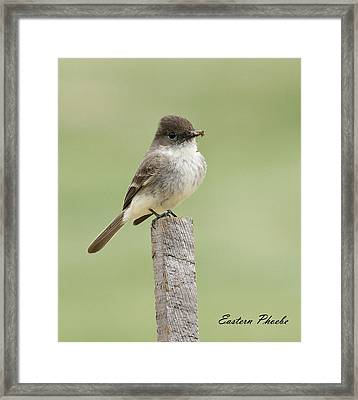 Eastern Phoebe Framed Print by David Lester