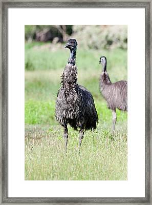 Emu (dromaius Novaehollandiae Framed Print