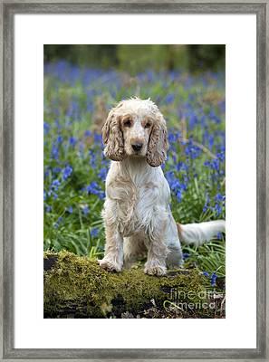 English Cocker Spaniel Framed Print by John Daniels