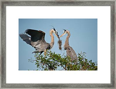 Florida, Venice, Great Blue Heron Framed Print by Bernard Friel