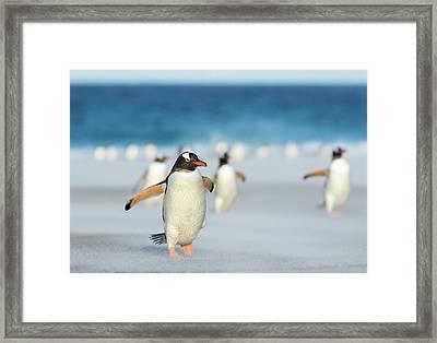 Gentoo Penguin (pygoscelis Papua Framed Print