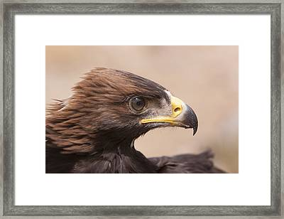Glaring Eagle Framed Print by Jim Snyder