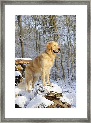 Golden Retriever In Snow Framed Print by John Daniels