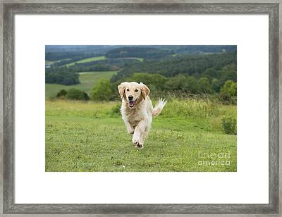 Golden Retriever Framed Print by John Daniels