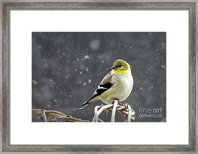 Framed Print featuring the photograph Goldfinch by Brenda Bostic