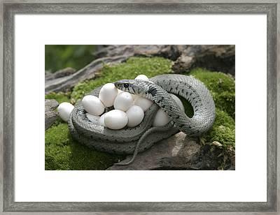 Grass Snake With Eggs Framed Print