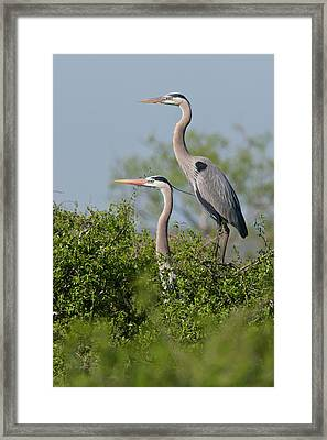 Great Blue Heron (ardea Herodias Framed Print by Larry Ditto