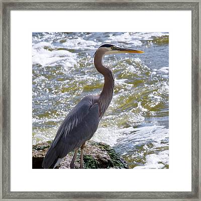 Great Blue Heron Fishing Framed Print by Roger Gallamore
