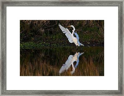 Great Egret Framed Print by Dan Ferrin
