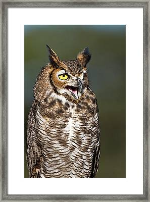 Great Horned Owl (bubo Virginianus Framed Print by Larry Ditto