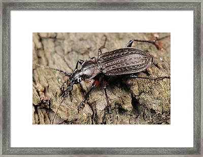 Ground Beetle Framed Print