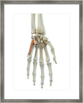 Hand Muscles Framed Print by Sciepro