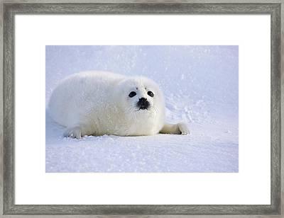 Harp Seal Pup On Ice, Iles De La Framed Print