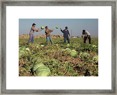 Harvesting Watermelons Framed Print by Jim West