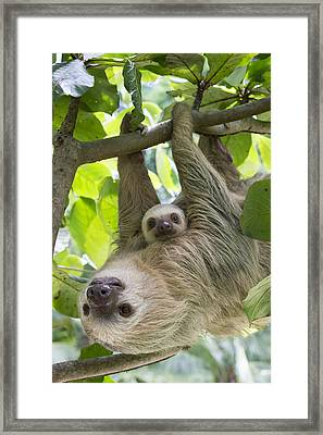 Hoffmanns Two-toed Sloth And Old Baby Framed Print