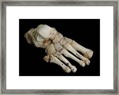 Homo Heidelbergensis Fossil Foot Bones Framed Print